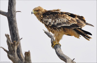 Eastern Imperial Eagle...
