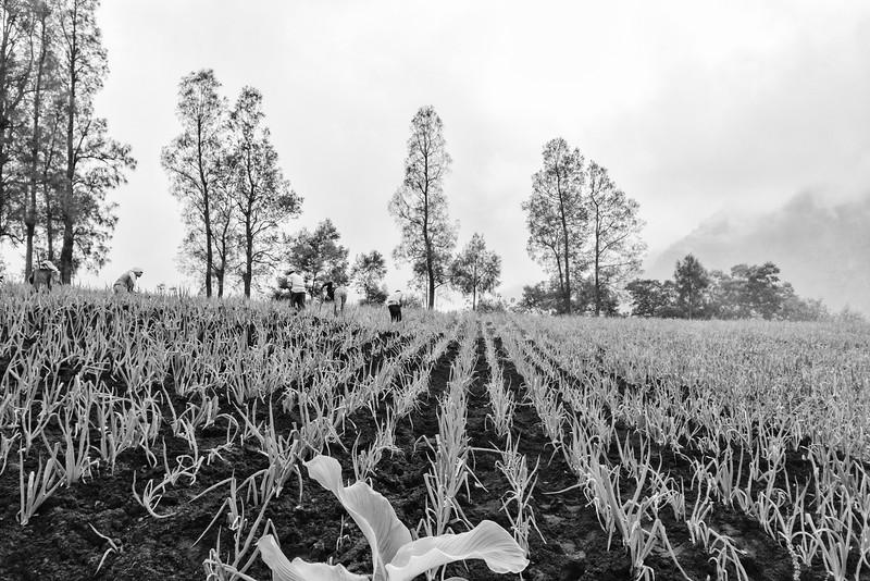 Onion Farming