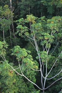 Tree from tower at Refugio Amazonas.