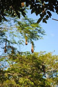 Oropendola nests