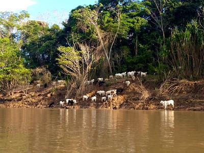Skinny cows aka vacas flacas