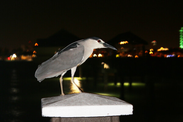 2015-05-27  Black-crowned Night Heron