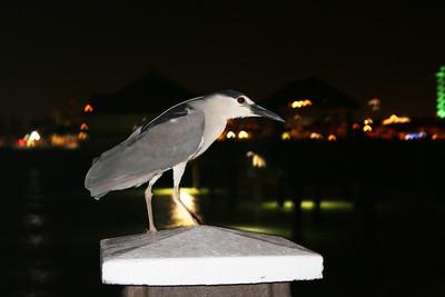 2015-05-27  Black-crowned Night Heron