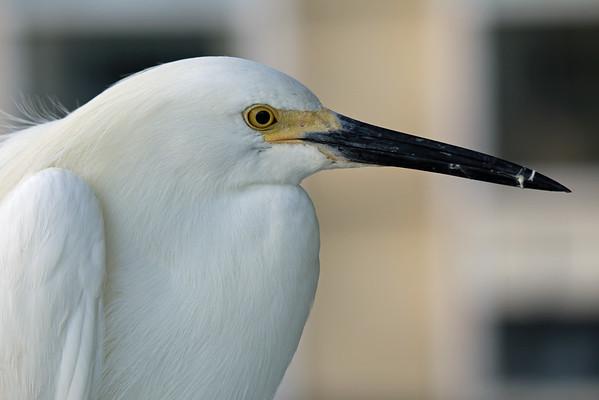 2015-05-27  Snowy Egret