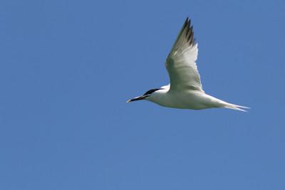 2015-05-28 Sandwich Tern