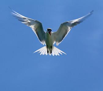 2015-05-28 Royal Tern