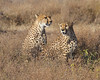 Cheetah Brothers at Ndutu, Tanzania