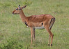 Impalas are found throughout Tanzania and Kenya