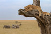 Tanzania in the Serengeti National Park, lion cub in a tree