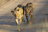 At Larsen's Camp, Samburu, Kenya, No doubt who is in charge as lionesses hunt