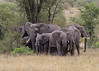 Matriarch herd of elephants, Ndutu, Serengeti National Park, Tanzania, Matriarch herd of elephants