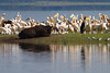 Pelicans at Lake Nakuru National Park_Kenya