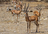 These Grants Gazelles are found in both Kenya and Tanzania