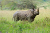 A rare Black Rhino at Lake Nakuru National Park_Kenya