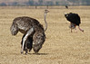 Ostrich Mating, Ngorongoro Conservation Area and Crater, Tanzania, Female Mating Dance