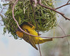 In Kenya's Lake Nakuru National Park_Kenya, a Yellow Weaver Nest