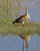 Egyptian Goose at Lake Nakuru National Park_Kenya