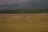 In the Ngorongoro Conversation Area, Tanzania, Africa, a Cheetah Chases Down a Thompson Gazelle