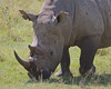 A White Rhino at the Lake Nakuru National Park_Kenya