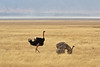 Ostrich Mating, Ngorongoro Conservation Area and Crater, Tanzania