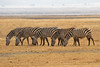 Zebras Grazing in Tanzania at Ngorongoro Conservation Area and Crater