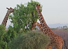 Larsen's Camp, Samburu National Park, Kenua, Reticulated Giraffe