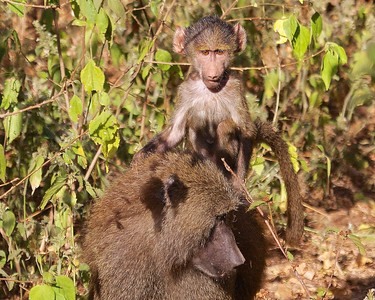 Tanzania Lake Manyara National Park, a Baboon baby takes a ride