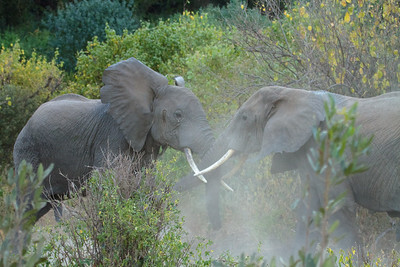 In Tanzania's Lake Manyara National Park, Young Male Elephants sparring