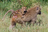 At Lake Nakuru National Park_Kenya, a Baboon Baby takes a ride