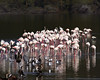 A Flock of Flamingos at Lake Nakuru National Park_Kenya