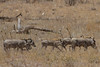 At Larsen's Camp, Samburu, Kenya, Warthogs with Tail-Warnings