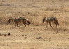 In the Tanzania at Ngorongoro Conservation Area and Crater, Silver-Backed Jackals Hunting