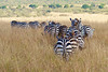 In Kenya, Wildebeest and Zebras Migrating through the Maasai Mara National Reserve, Kenya