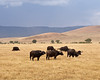 Tanzania at Ngorongoro Conservation Area and Crater.  Cape Buffalo herd