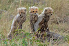 In Kenya's Masai Triangle,  Cheetah Cubs