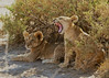 Fierce Lion Cubs at Larsen's_Camp_Samburu_Kenya