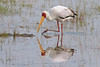 Lake Nakuru National Park_Kenya, Yellow Billed Stork