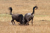 Young Male Wildebeests spar in Tanzania