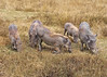 Warthog Family in Tanzania at Ngorongoro Conservation Area and Crater