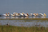 Fishing Pelicans at Lake Nakuru National Park_Kenya