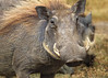 Tanzania at Ngorongoro Conservation Area and Crater, a Warthog Male