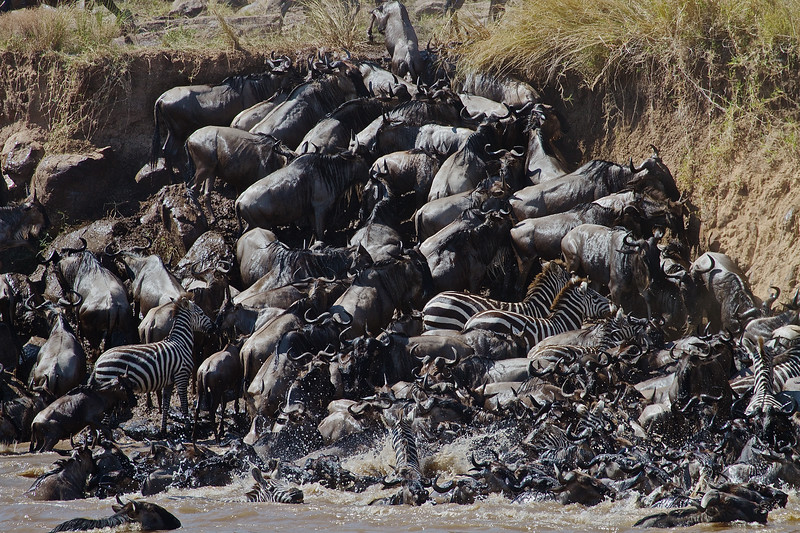 Zebra and Wildebeest Migrate across the Mara River in Kenya