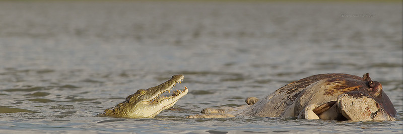Dead hippo with crocodiles