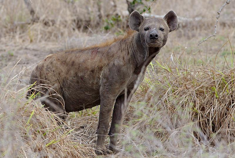 Hyena - Selous Game Reserve