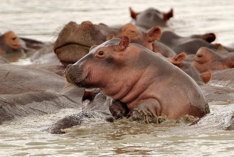 Escape of the baby hippo