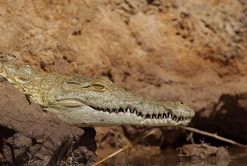 Young crocodile on the Rufiji river