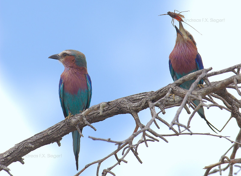 Lilac-breasted Roller with Water Scorpiom