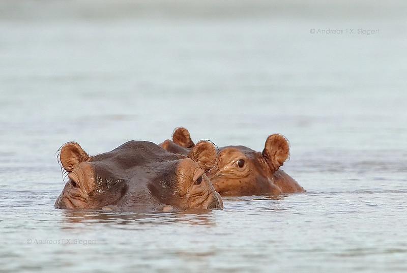 Hippos in the Rufiji river