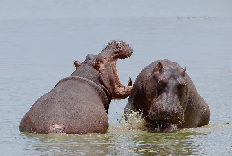 Complaining hippo