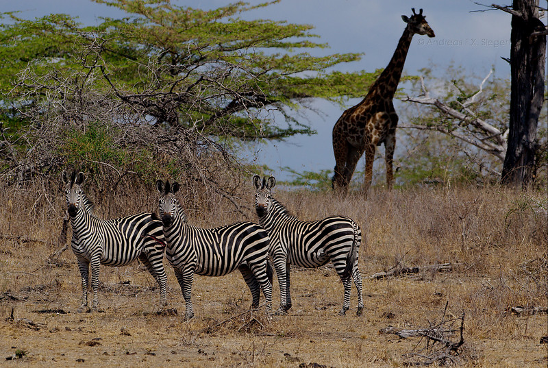 Zebras with giraffe - the daily dosis of Africa kitsch